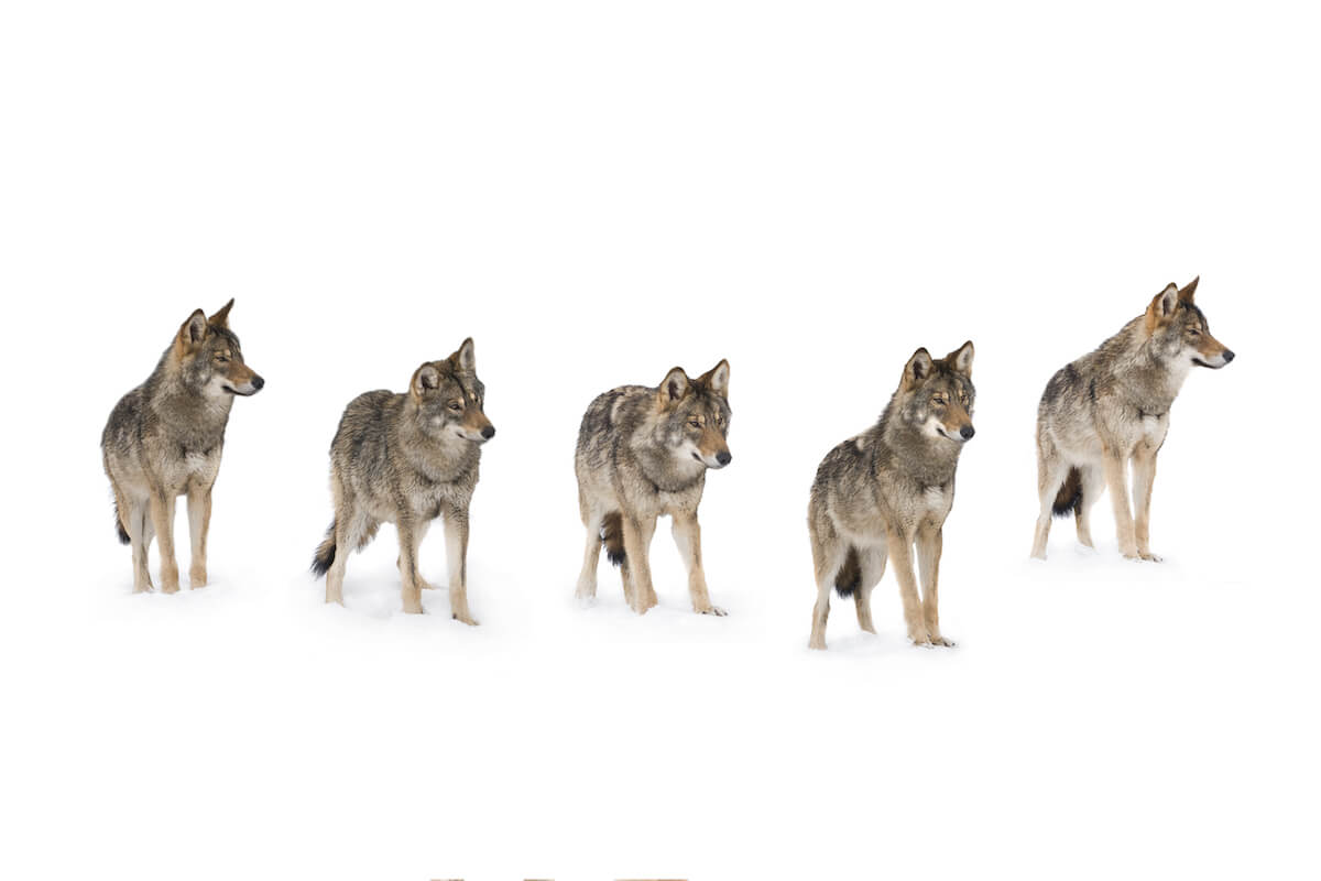 Wolf pack standing in snow. Read SEO tips for increasing your page views and a real SEO case study. #SEO