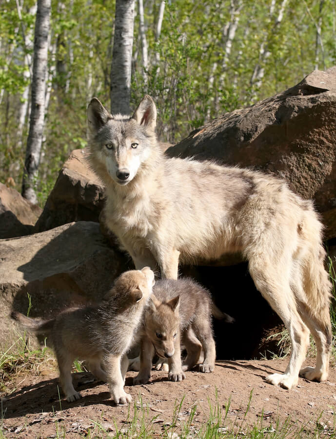 Mother wolf and her pups. Read about the Wolf Pack Method and a real website case study for building your website traffic through SEO with real SEO tips. #SEO #blogging #business