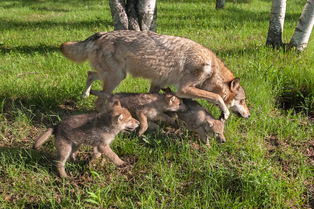 Mother wolf and her cubs hunting together. Read about the Wolf Pack Method, a content based Search Engine Organization strategy. #SEO #Business