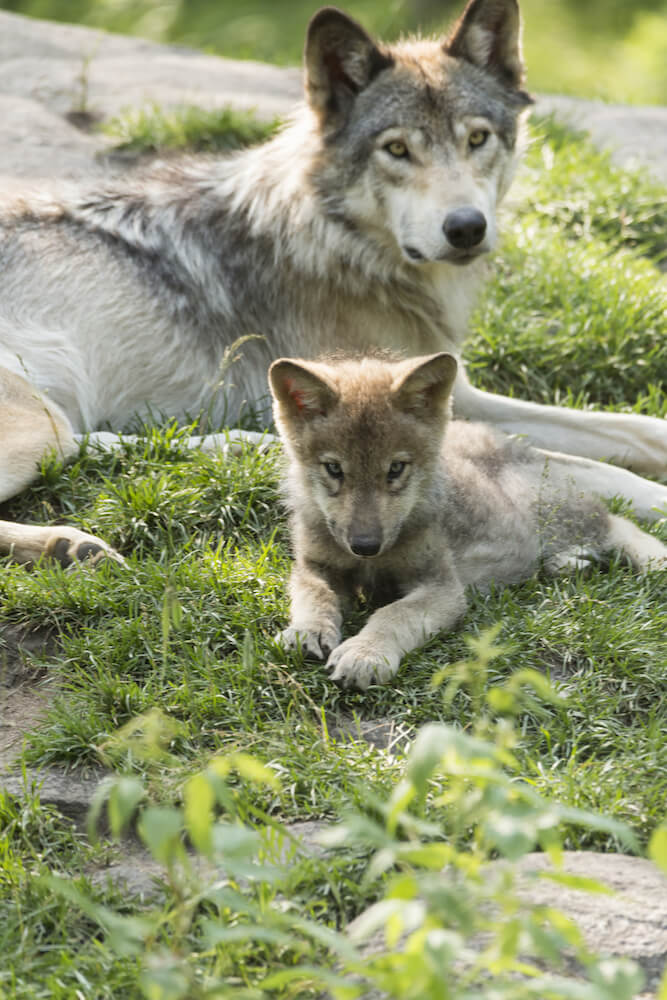 Cute wolf and wolf pup. Read a SEO strategy for increasing your page views using the wolf pack method! #SEO