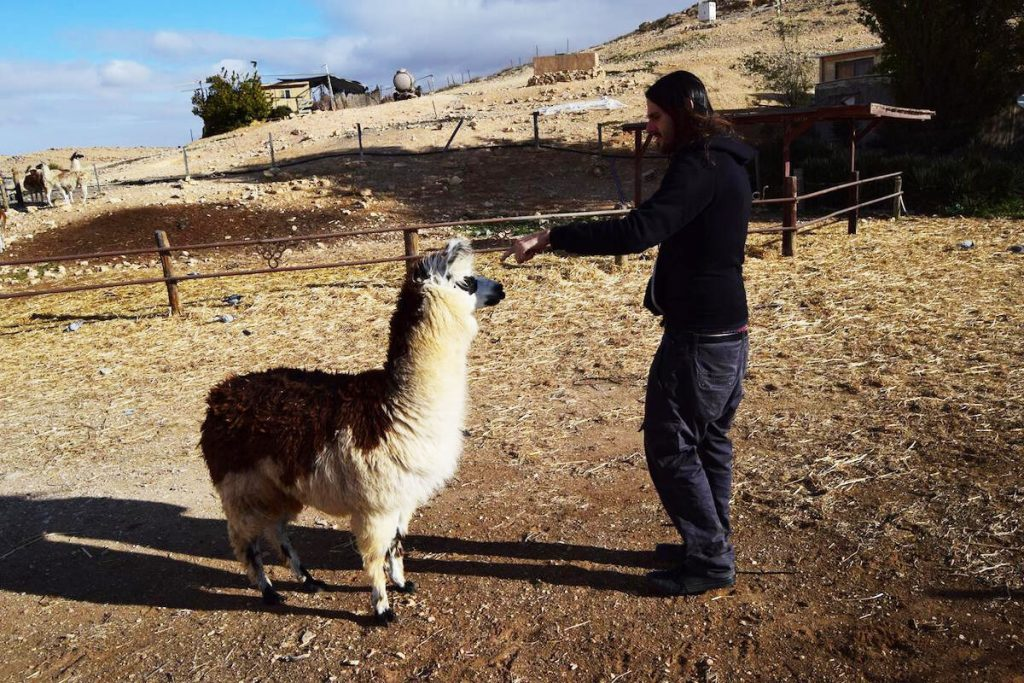 Man attempting to touch an alpaca. Read whether you should click spammy links that link to you that you find while doing your disavow file!