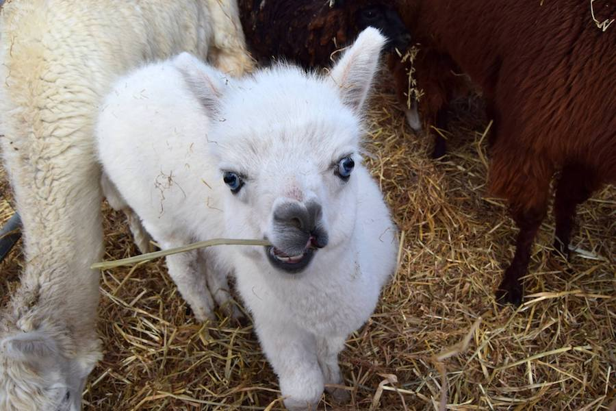 An adorable baby alpaca. Read why you should check the links in your Google Search Console!